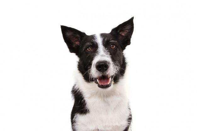 Portret Szczęśliwy Czarny Border Collie. Premium Zdjęcia