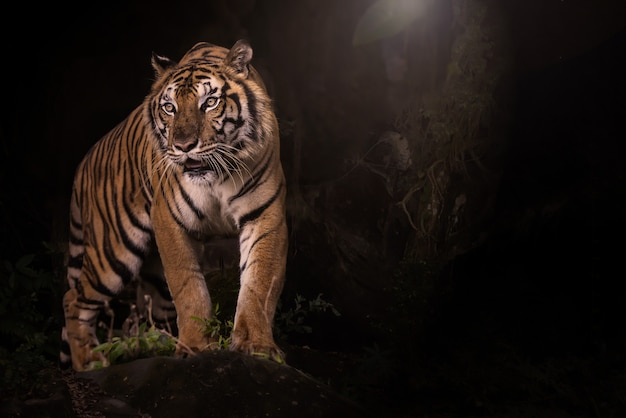 Portret Tygrys Bengalski W Ciemnym Lesie Premium Zdjęcia