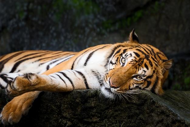 Portret Tygrysa. Premium Zdjęcia