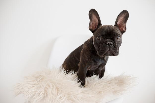 Portret Uroczego Buldoga Francuskiego Premium Zdjęcia