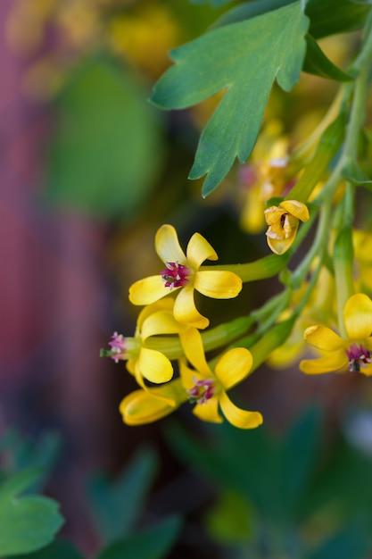 Porzeczka kwitnąca z małymi żółtymi kwiatami Premium Zdjęcia