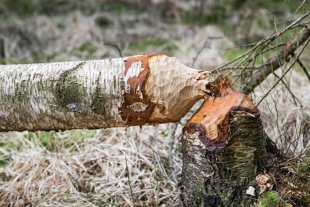 Powalone Brzozowe Drzewa W Lesie Obgryzane Przez Bobry Premium Zdjęcia