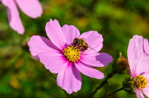 Pracowita Pszczoła Działa Na Kwiatek - Zbiera Pyłek Premium Zdjęcia