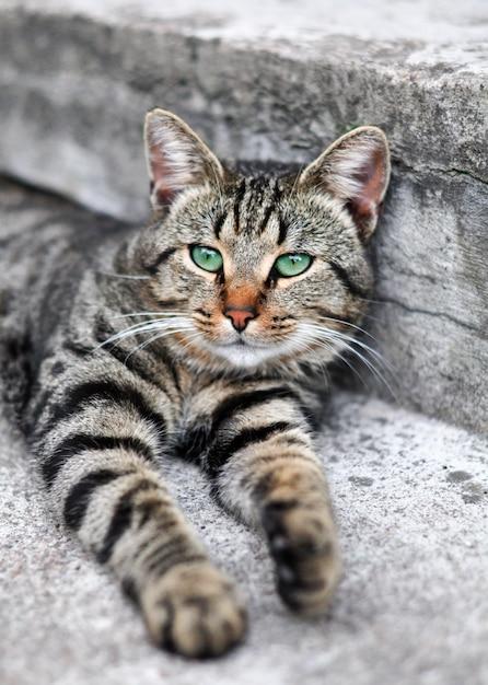 Pręgowany Kot Z Zielonymi Oczami śpi Na Schodach Premium Zdjęcia