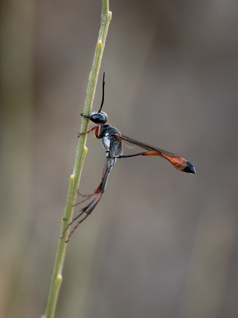 Prionyx Kirbii. Kopacz Osa Sfotografowany W Ich Naturalnym środowisku. Premium Zdjęcia