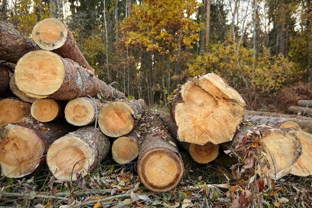 Proces Wycinki Drzew Iglastych Premium Zdjęcia