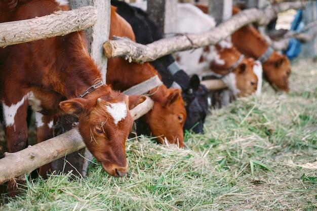 Przemysł rolny, koncepcja hodowli i hodowli zwierząt, stado krów w oborze na fermie mlecznej Premium Zdjęcia