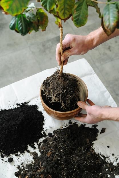 Przesadzanie Rośliny Doniczkowej. Premium Zdjęcia