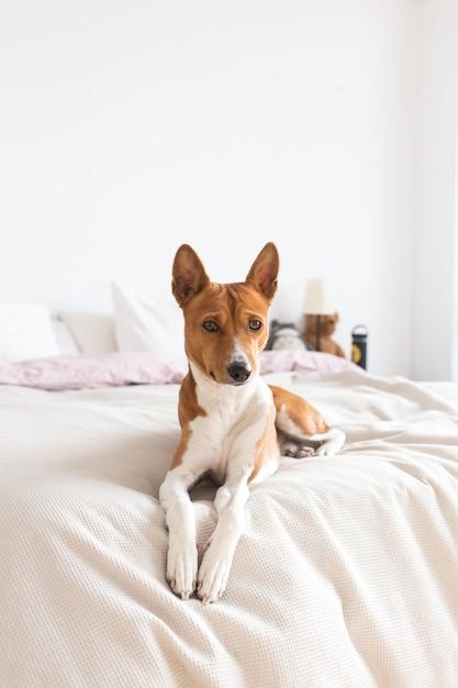 Prześliczny, śliczny I Uroczy Psi Szczeniak Basenji Odpoczywa Na łóżku, Samotny Piesek Czeka Na Właściciela W Domu Darmowe Zdjęcia