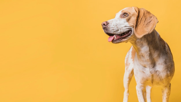 Prześwietny pies patrzeje daleko od z kopii przestrzenią Darmowe Zdjęcia