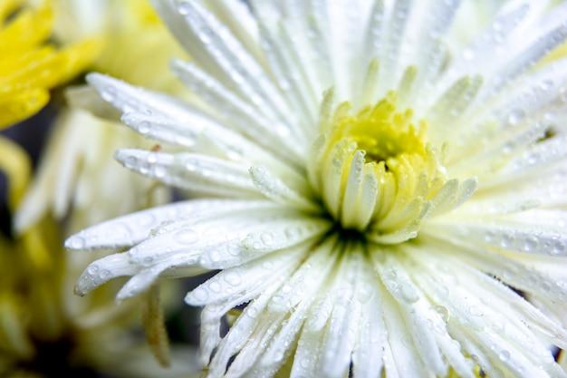 Przezroczyste Piękne Kropelki Wody Na Płatkach Białego Kwiatu Chryzantemy / Makro / Makro. Premium Zdjęcia