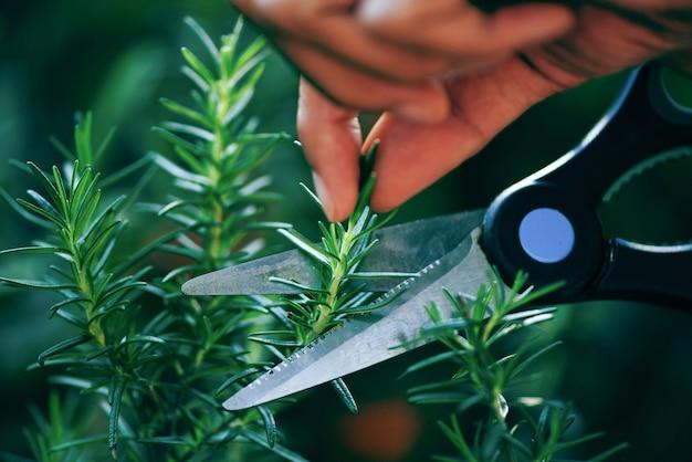 Przycinanie świeżych Ziół Rozmarynu Natura Zieleń. Wytnij Rozmaryn Rosnący W Ogrodzie Dla Ekstraktów Olejku Eterycznego Premium Zdjęcia