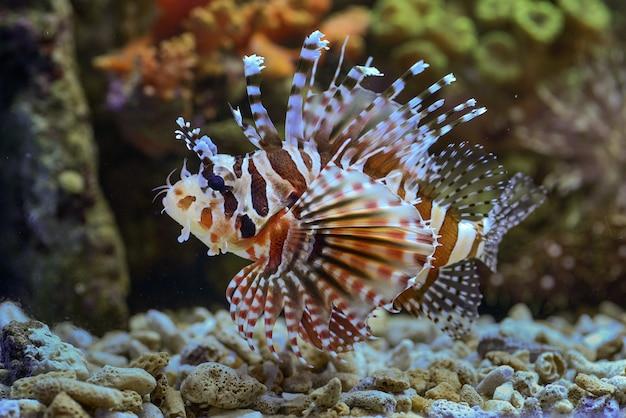 Pstra Czerwona Pływanie W Rafie Koralowej Premium Zdjęcia
