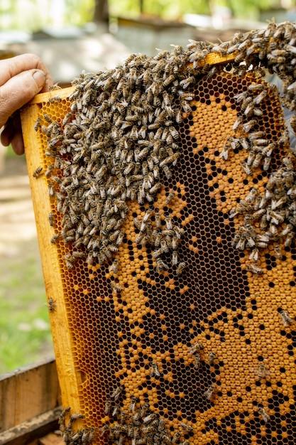 Pszczelarz Opiekuje Się Plastrami Miodu Premium Zdjęcia