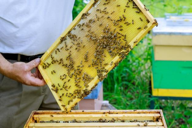 Pszczelarz Pszczelarski Współpracuje Z Pszczołami W Pobliżu Uli, Wyjmując Ramki Z Plastrami Miodu Do Kontroli Premium Zdjęcia