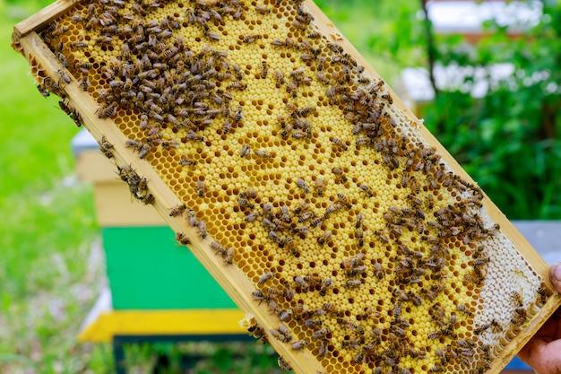 Pszczelarz W ładny Słoneczny Dzień Sprawdza W Locie Kolonię Pszczół W Pobliżu Ula Premium Zdjęcia