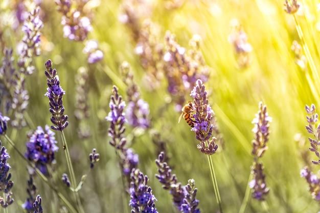 Pszczół Zapylających W Poszukiwaniu Nektaru Na Fioletowych Kwiatach Lawendy Premium Zdjęcia