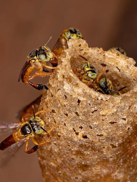 Pszczoła Jatai Z Gatunku Tetragonisca Angustula Premium Zdjęcia