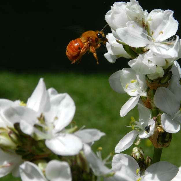 Pszczoła Latająca W Pobliżu Białych Kwiatów Darmowe Zdjęcia