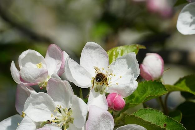 Pszczoła Miodna Na Biały Kwiat Z Niewyraźne Tło Darmowe Zdjęcia