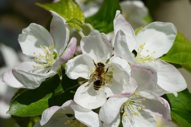 Pszczoła Miodna Na Białym Kwiatku Darmowe Zdjęcia