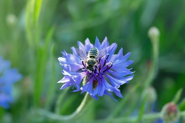 Pszczoła Miodna Siedzi Na Niebieskim Chabrze Premium Zdjęcia