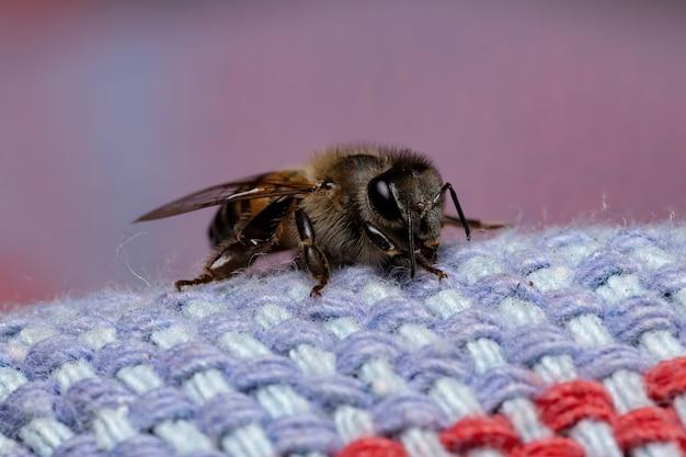Pszczoła Miodna Z Gatunku Apis Mellifera Premium Zdjęcia
