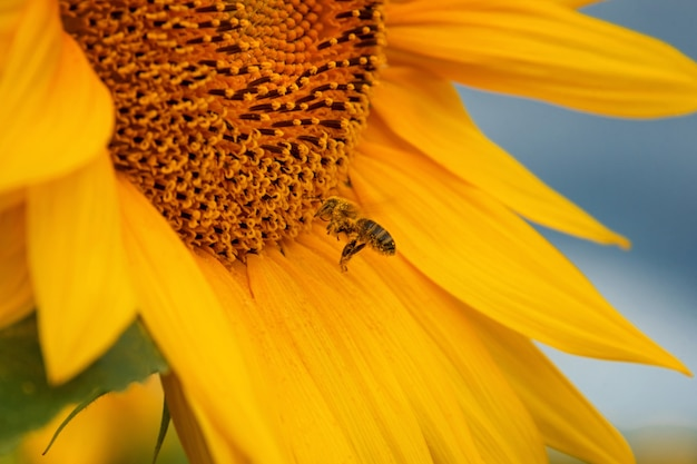Pszczoła Miodna Zbierająca Nektar Ze Słonecznika Premium Zdjęcia