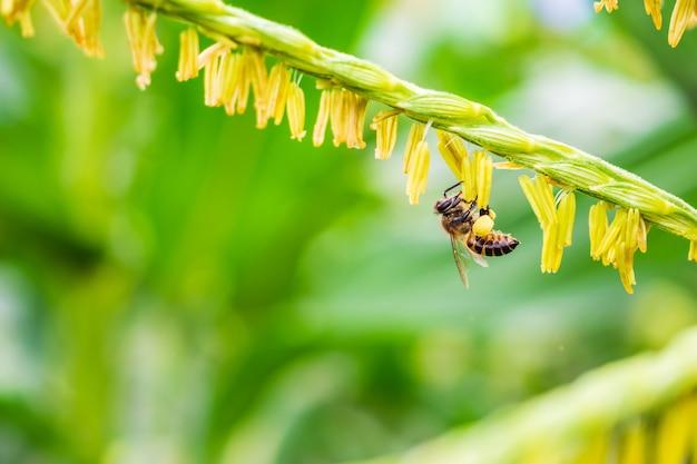 Pszczoła Miodna Zbierająca Pyłek Na Kwiat Kukurydzy W Dziedzinie Rolnictwa Premium Zdjęcia