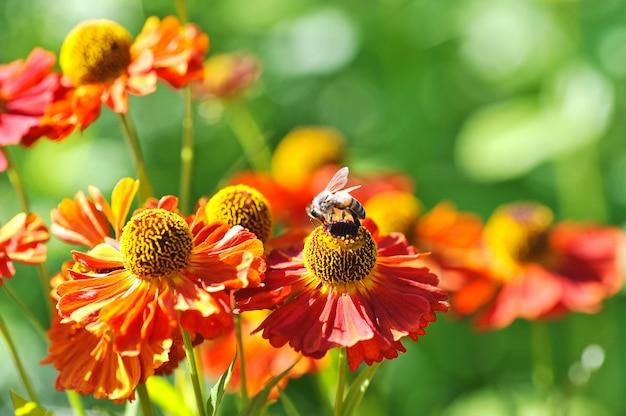 Pszczoła Na Czerwonym Kwiacie Zbiera Pyłek Premium Zdjęcia