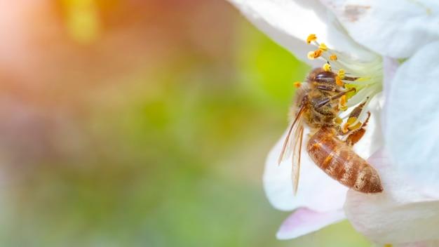Pszczoła Na Jabłoniowym Kwiacie W Naturze Premium Zdjęcia