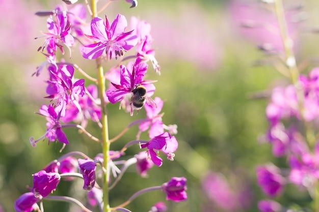 Pszczoła na kwiatach herbaty iwan wierzbowo-ziołowy, chwast, kwiat epilobium na polu. lato. ziołowa koszulka. Premium Zdjęcia