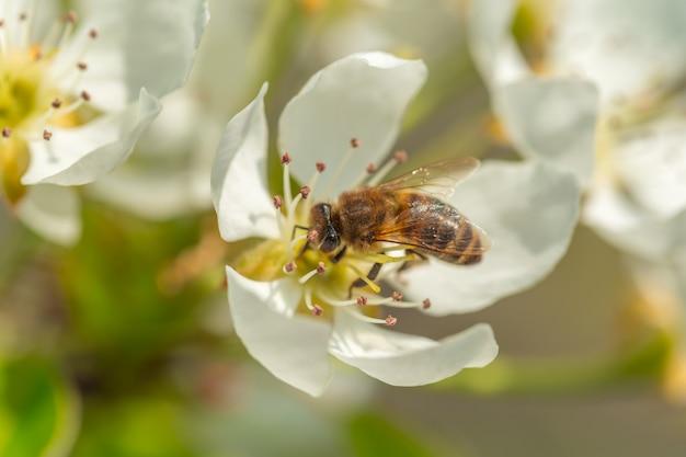 Pszczoła Na Kwiatku Białych Kwiatów. Pszczoła Zbierająca Pyłek Premium Zdjęcia