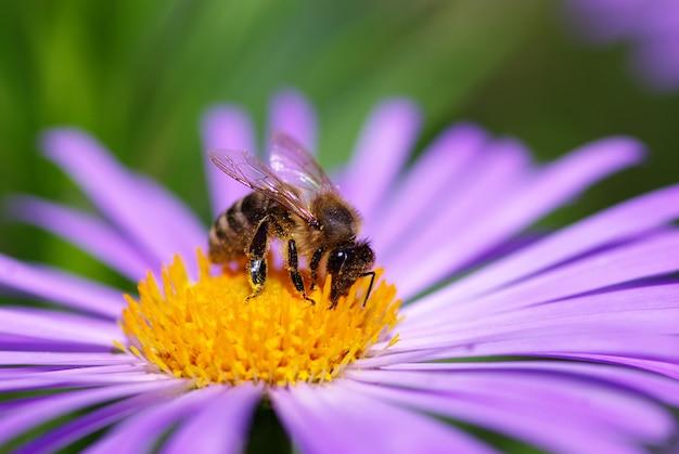 Pszczoła Na Kwiatku Premium Zdjęcia