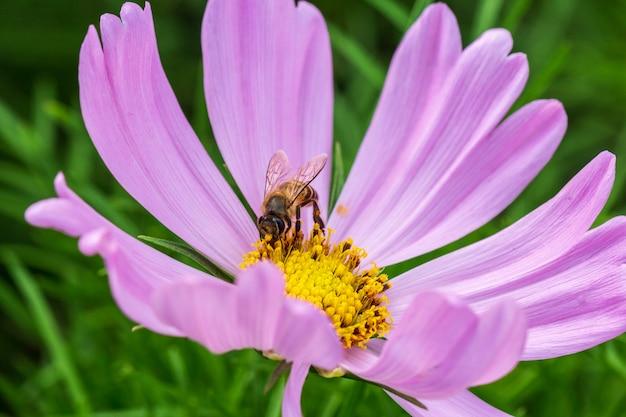 Pszczoła Na Różowym Kwiacie, Płatki W Wielu Warstwach Premium Zdjęcia