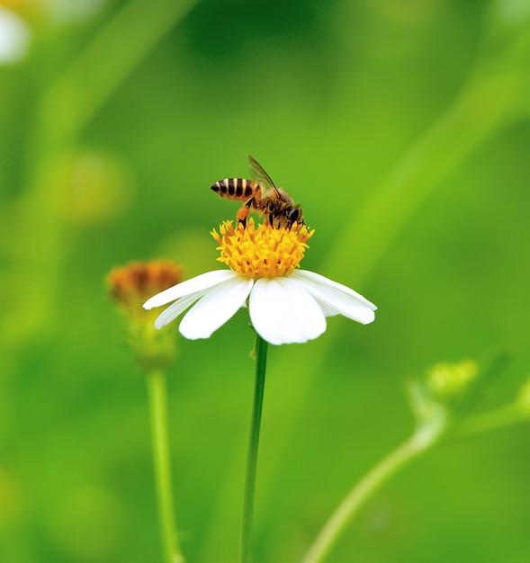 Pszczoła Zajęta Pije Nektar Z Kwiatu Premium Zdjęcia