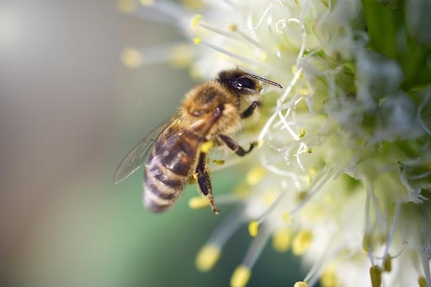 Pszczoła Zbiera Nektar Na Białej Cebuli. Kolekcja Nektaru. Zbiory Miodu Fotografia Makro Premium Zdjęcia