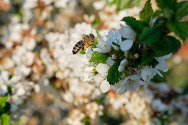 Pszczoła Zbiera Nektar Na Kwitnącym Drzewie. Premium Zdjęcia