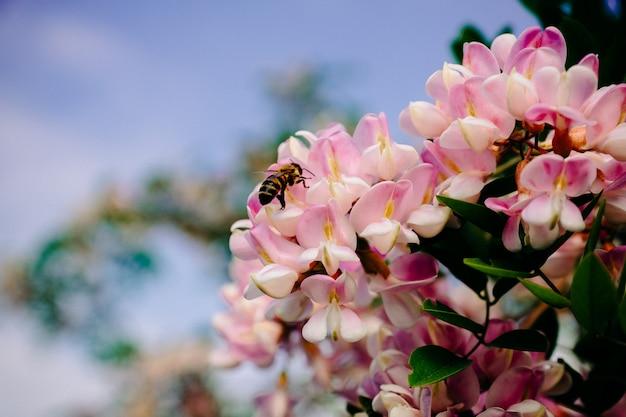 Pszczoła Zbiera Nektar Na Różowym Akacjowym Kwiacie Premium Zdjęcia