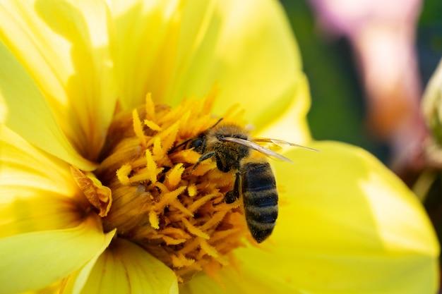 Pszczoła Zbiera Nektar Z żółtego Kwiatu W Słoneczny Letni Dzień. Premium Zdjęcia