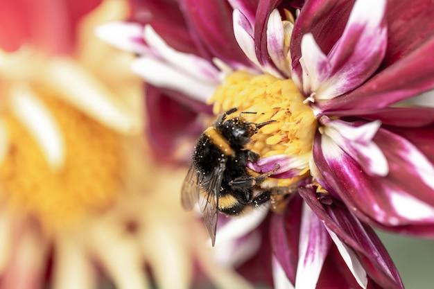 Pszczoły Na Chryzantemie Premium Zdjęcia