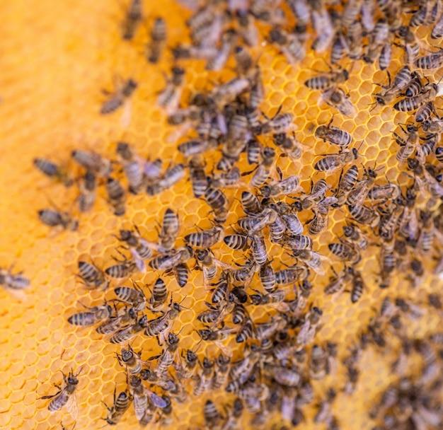 Pszczoły Na Plaster Miodu, Widok Z Góry. Komórka Miodowa Z Pszczołami. Pszczelarstwo. Pasieka Premium Zdjęcia