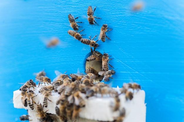 Pszczoły Przy Wejściu Do Starego Ula. Pszczoły Wracające Ze Zbioru Miodu Do żółtego Ula Premium Zdjęcia