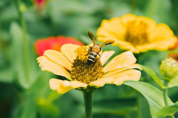 Pszczoły Są Na żółtej Cyni, Cynia Jest Bardzo Popularną Rośliną Ozdobną. Premium Zdjęcia