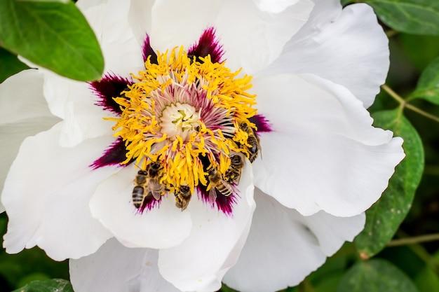 Pszczoły Zbierają Nektar Z Kwiatka Drzewiastej Piwonii W Parku W Wiosenny Lub Letni Dzień Premium Zdjęcia