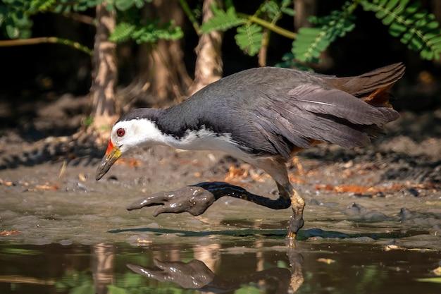 Ptak Liszaj Biały Szuka Pożywienia Na Bagnach Premium Zdjęcia