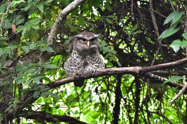 Ptak Spot-bellied Puchacz Siedzący Na Drzewie W Przyrodzie, Tajlandia Premium Zdjęcia