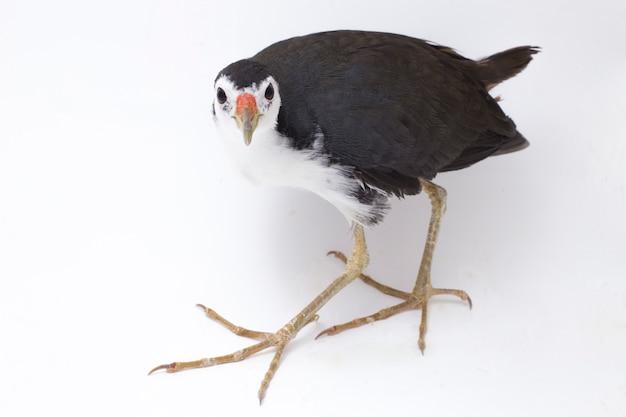 Ptak Waterhen Białopierśny Na Białym Tle Premium Zdjęcia