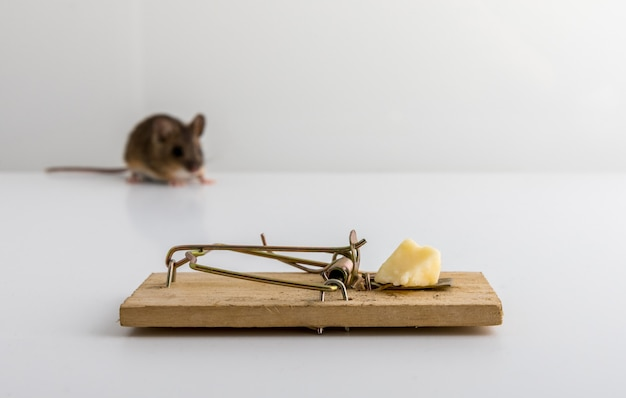 Pułapka Na Myszy Z Przynętą Serową I Mała Drewniana Mysz Apodemus Sylvaticus, Nieostre, Premium Zdjęcia