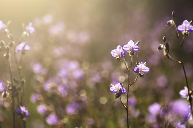 Purpurowe Kwiaty Pola Rano. Premium Zdjęcia